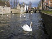 Swans on the canal in Bruges, Belgium. — Stock Photo