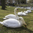 Stock Photo: Swans in park.