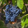 Ripe clusters of dark blue grapes. — Stock Photo