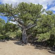 Relict juniper tree, Crimea. — Stock Photo #36361721