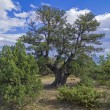 Relict juniper tree, Crimea. — Stock Photo #36361725