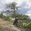 Stock Photo: Relict juniper tree, Crimea.