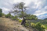 Relict juniper tree, Crimea. — Stock Photo