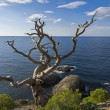 Dead pine on cliff above sea. — Stock Photo #36578285