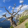 Stock Photo: Dead pine on cliff above sea.