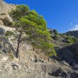 Pine on cliff. — Stock Photo #36578297