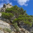 Stock Photo: Pine on cliff.