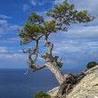 Pine on cliff above sea. — Stock Photo #36578335