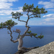 Pine on cliff above sea. — Stock Photo #36578347