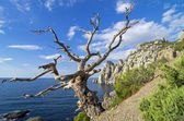 Dead pine on the cliff above the sea. — Stock Photo