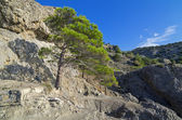 Pine on the cliff. — Stock Photo