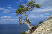 Pine on the cliff above the sea. — Stock Photo