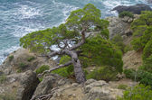 Pine trees on a steep slope above the sea. — Stock Photo