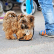 Shaggy little dog taking a walk — Stock Photo