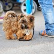 Stock Photo: Shaggy little dog taking walk
