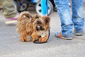 Shaggy little dog taking a walk — Stock Photo