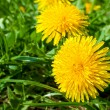 Close up of a yellow dandelions group - Foto Stock