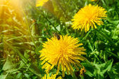 Honey bee collecting pollen on a dandelion — Stock Photo