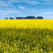 Rapeseed field flowers in bloom - Stock Photo