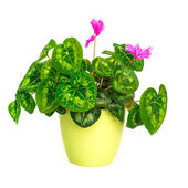 Blossoming plant of cyclamen in flowerpot — Stock Photo
