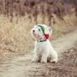 Small dog in the hat — Stock Photo #35139389