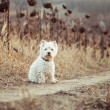 Small dog breeds White Terrier — Stock Photo