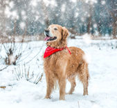 Golden retriever walk in the park — Stock Photo