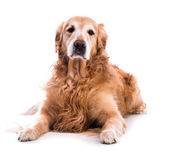 Golden retriever dog laying down — Stock Photo