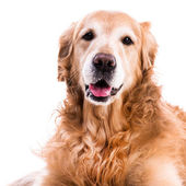 Purebred golden retriever dog — Stock Photo