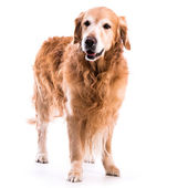 Golden retriever dog posing in studio — Stock Photo