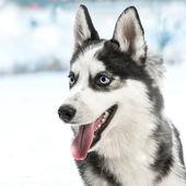 Siberian husky — 图库照片