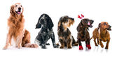 Set photos of dogs  different breeds isolated — Stock Photo
