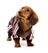Perro salchicha cachorro — Foto de Stock