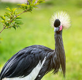 Grey crowned crane — Stock Photo
