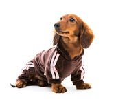 Brown dachshund dog — Stock Photo