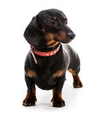 Black  dachshund dog — Stock Photo