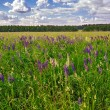 Meadow of wild lupins - Stockfoto