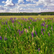 Meadow of wild lupins - Stock Photo