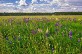 Meadow of wild lupins — Stock Photo