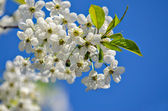 Cherry branch flowers — Stock Photo