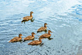 Ducks swimming in pond — Stock Photo