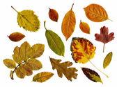 Set of autumn leaves isolated — Stock Photo