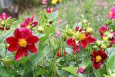 Beautiful flower (Dahlia variabilis) with water drops — Stock Photo