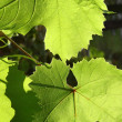 Green grape leaves — Stock Photo