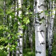 Stock Photo: Birch trees in a summer forest