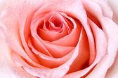 красивая розовая роза — Стоковое фото