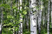 Abedules en un bosque de verano — Foto de Stock