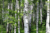 Beautiful birch trees — Stock Photo