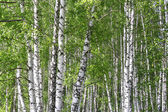 Birch forest — Stockfoto