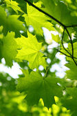 Branch of green maple — Stock Photo
